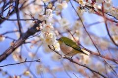 Mejiro on a twig of japanese apricot Stock Photo