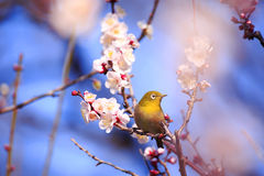 Mejiro on a twig of japanese apricot Royalty Free Stock Image