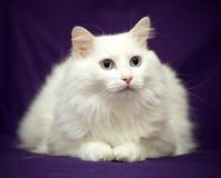 Mejor del gato de la casta Fotos de archivo