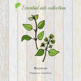 Mejorana, etiqueta del aceite esencial, planta aromática Foto de archivo libre de regalías