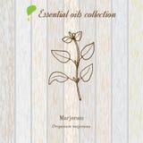 Mejorana, etiqueta del aceite esencial, planta aromática Ilustración del vector Imagen de archivo libre de regalías