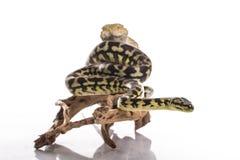 Mejores amigos lindos del lagarto y de la serpiente en un fondo blanco Foto de archivo