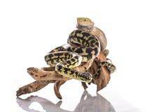 Mejores amigos lindos del lagarto y de la serpiente en un fondo blanco Imagenes de archivo