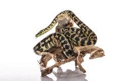Mejores amigos lindos del lagarto y de la serpiente en un fondo blanco Fotos de archivo