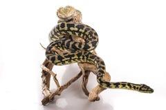 Mejores amigos lindos del lagarto y de la serpiente en un fondo blanco Imágenes de archivo libres de regalías