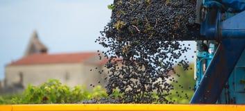 Mekanisk plockning av druvor i vingården Royaltyfria Foton