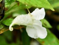 Mekaniskt säga efter blomman (endemiskväxter) från nordliga Thailand Arkivfoto