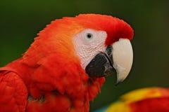 Mekaniskt säga efter den scharlakansröda aran, munkhättor Macao, den röda head ståenden i mörker - den gröna tropiska skogen, Cos Arkivfoton