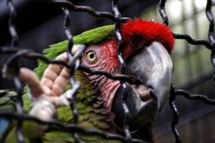 Mekaniskt säga efter den stora gröna aran i bur i zoo Hodonin Royaltyfri Fotografi