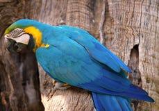 Mekaniskt säga efter guling och blått, munkhättaararaunaen, fågel, royaltyfri bild