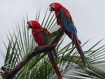 Mekaniskt säga efter scharlakansröda aramunkhättor Macao i Panama royaltyfria bilder
