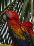 Mekaniskt säga efter scharlakansröda aramunkhättor Macao i Panama arkivbild