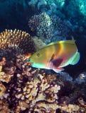 Mekaniskt säga efter stickande koraller för fisken på en rev i Röda havet Royaltyfri Fotografi