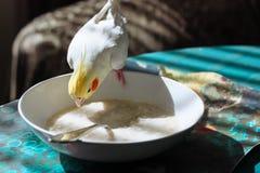 Mekaniskt säga efter vita corella som äter havregröt från en platta royaltyfri bild