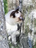Mekong bobtail- απότομα μαλλιαρή νέα γάτα, γατάκι, χρώμα σημείου σφραγίδων σε μια σημύδα Στοκ Εικόνες