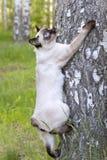 Mekong bobtail- απότομα μαλλιαρή νέα γάτα, γατάκι, χρώμα σημείου σφραγίδων σε μια σημύδα Στοκ φωτογραφίες με δικαίωμα ελεύθερης χρήσης