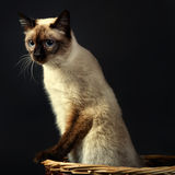 Mekong bobtail (cat) 2. Mekong bobtail (cat) Studio. Black background Stock Image