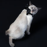 Mekong bobtail (cat) 4. Mekong bobtail (cat) Studio. Black background. Cute Royalty Free Stock Image