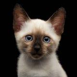 Mekong Bobtail Kitty with Blue eyes on  Black Background Stock Photo