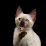 Mekong Bobtail Kitty with Blue eyes on  Black Background Royalty Free Stock Photography