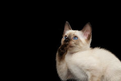 Mekong Bobtail Kitty with Blue eyes on  Black Background Royalty Free Stock Photos