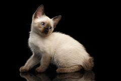 Mekong Bobtail Kitty with Blue eyes on  Black Background Stock Photos