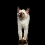 Mekong Bobtail Kitty with Blue eyes on  Black Background Royalty Free Stock Images