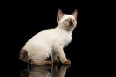 Mekong Bobtail Kitty with Blue eyes on  Black Background Stock Image