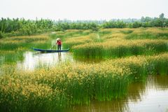 Mekong delta landscape with Vietnamese woman rowing boat on Nang - type of rush tree field, South Vietnam royalty free stock photo