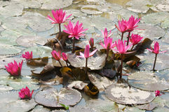 Mekong Delta travel, rice field, water lily flower Stock Photo