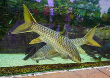 Mekong fish in the glass case Royalty Free Stock Images