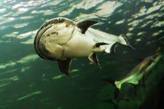 Mekong Giant Catfish Royalty Free Stock Photos