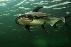Mekong Giant Catfish Royalty Free Stock Images