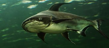 Mekong Giant Catfish Royalty Free Stock Photo