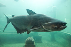Mekong giant catfish Stock Image