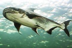 Mekong reuzekatvis stock foto