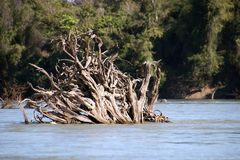 Uprooted tree trunks in the flooded forest in dry season stock images