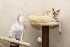2 Mekongs сидя на спортивной площадке кота Стоковые Изображения