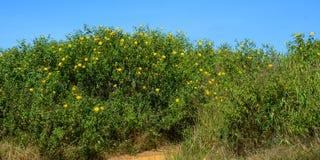 Meksykańscy słoneczniki kwitnie przy wiosną obraz stock