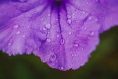 Meksykański petuni Ruellia simplex zdjęcie stock