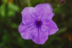 Meksykański petuni Ruellia simplex obraz stock