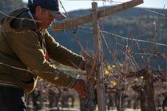 Meksykańskie pracownika arymażu wina uprawy w Valle de Guadalupe fotografia royalty free