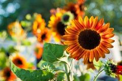 Meksykańscy słoneczniki Fotografia Royalty Free