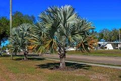 Meksykańska błękitna palma Zdjęcia Stock
