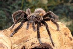Meksykańska czarna aksamitna tarantula na gałąź Zdjęcie Stock