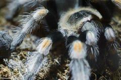 Meksykańska czerwona kolanowa tarantula (Brachypelma smithi) Obrazy Stock