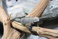 Meksykańska iguana odpoczywa na gałąź zdjęcia stock