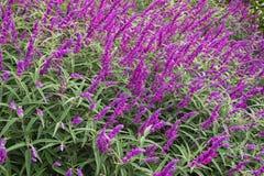 Meksykańska krzak mędrzec kwitnie w purpura cieniu (szałwii leucantha) zdjęcia royalty free