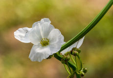 Meksykańska roślina, Echinodorus palaefolius Obrazy Royalty Free