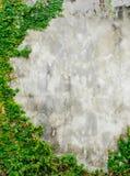 Meksykańska stokrotka lub Coatbuttons na ścianie Zdjęcia Stock